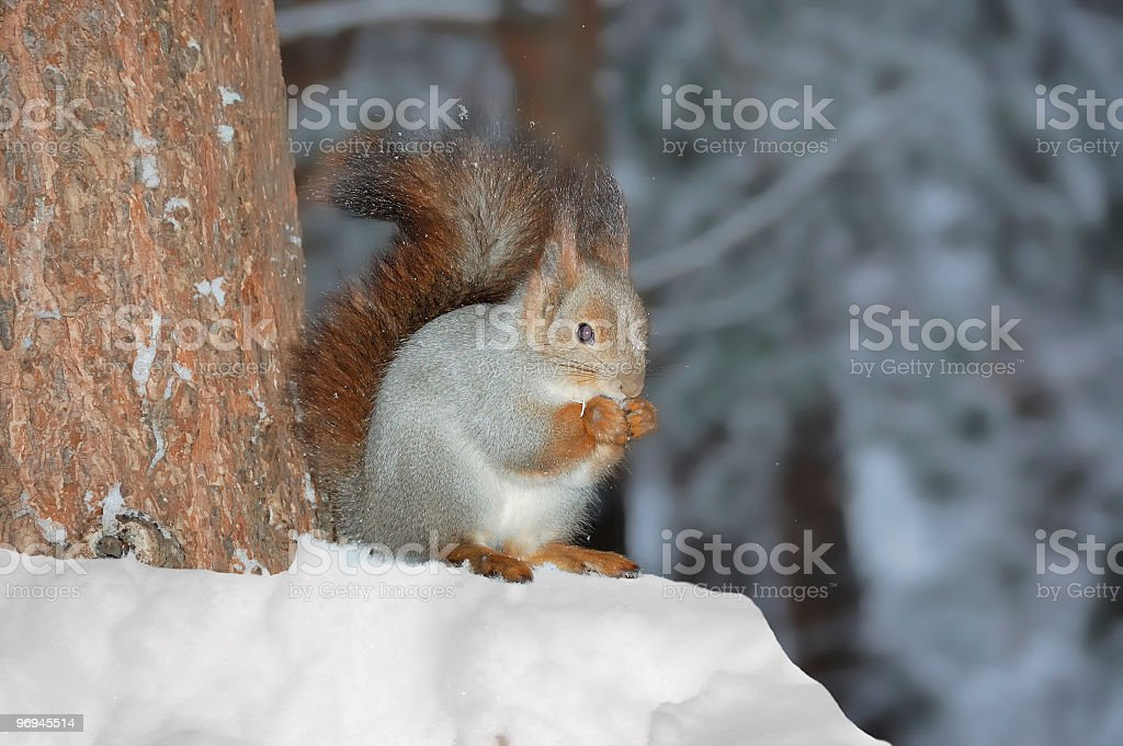 Squirrel in winter forest royalty-free stock photo
