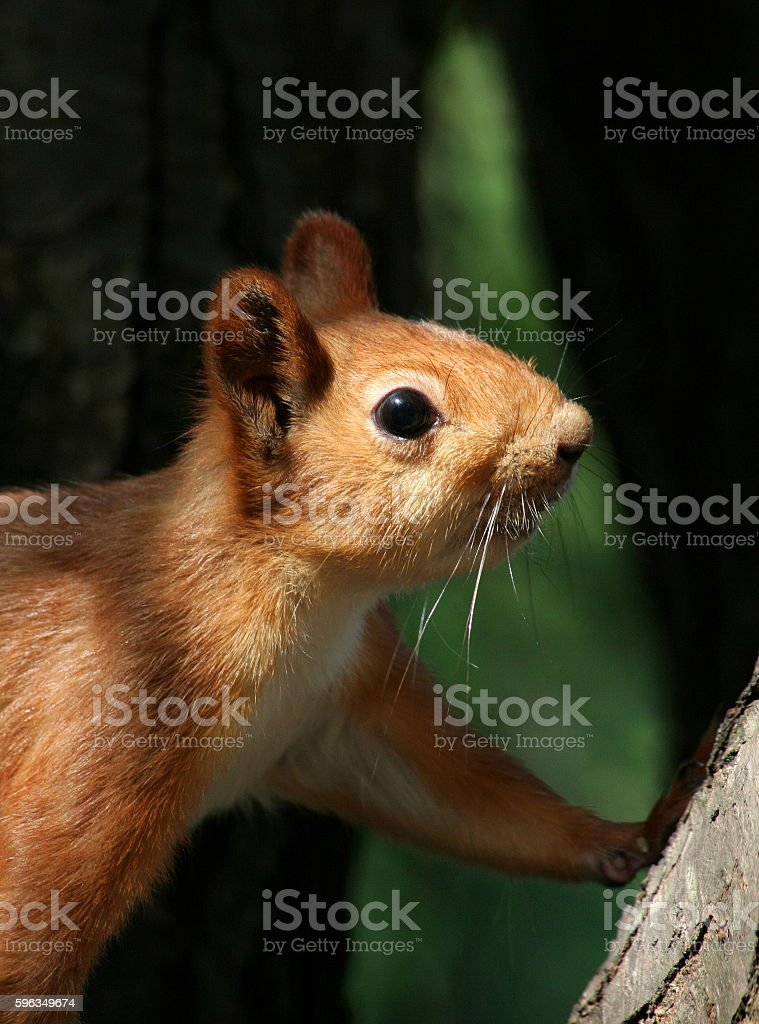 Squirrel is curious about people royalty-free stock photo