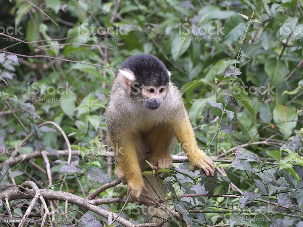 Squirrel Monkey 002 stock photo