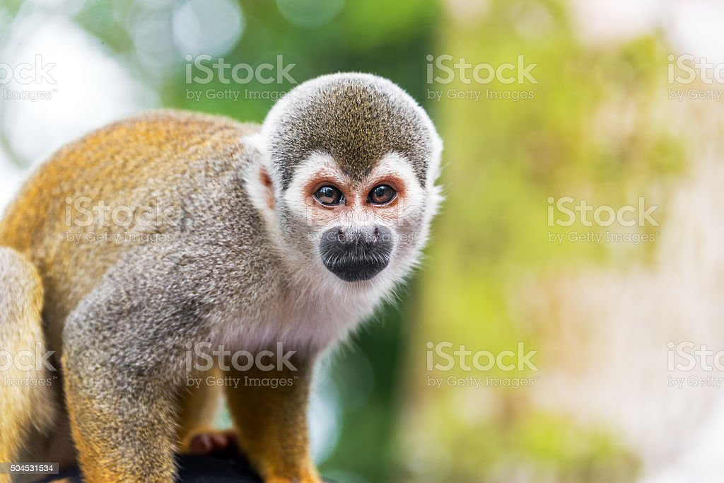 Squirrel Monkey Closeup Closeup of a squirrel monkey in the Amazon rain forest in Colombia Amazon Rainforest Stock Photo