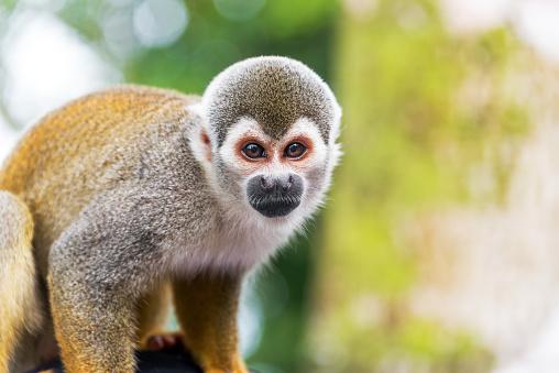 Squirrel Monkey Closeup Stock Photo - Download Image Now