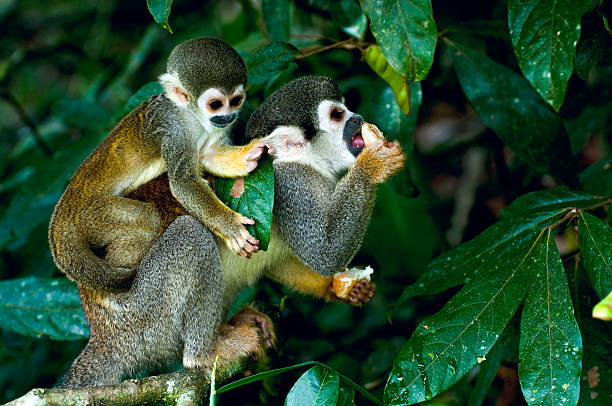 Squirrel Monkey in amazon rainforest Squirrel Monkey in amazon rainforest amazon river stock pictures, royalty-free photos & images