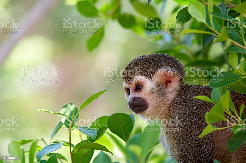 A squirrel monkey in its tree top habitat stock photo