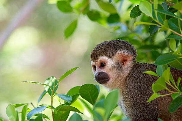 A squirrel monkey in its tree top habitat Common Squirrel Monkey in the tree canopy amazon river stock pictures, royalty-free photos & images