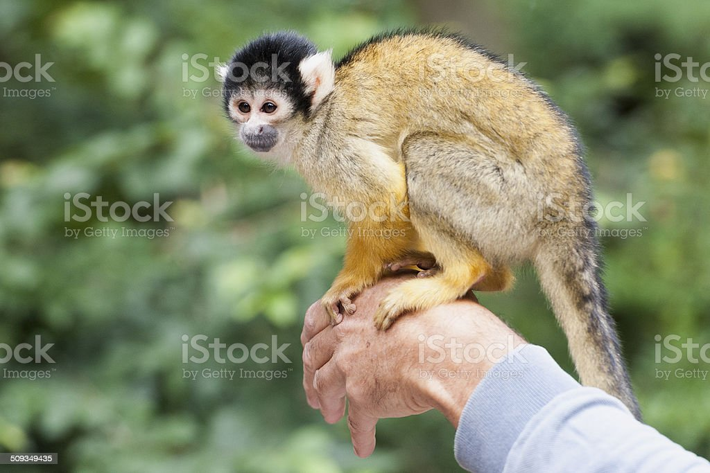 squirrel monkey on a mans hand stock photo