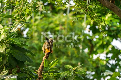 istock Squirrel Monkey on a tree trunk 1077972218