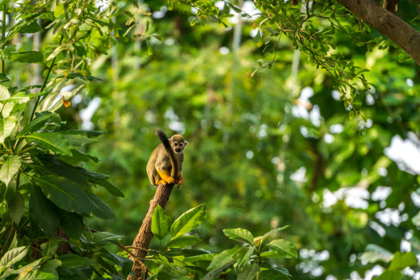 Squirrel Monkey on a tree trunk Squirrel Monkey sitting on a tree trunk in the rainforest animal wildlife stock pictures, royalty-free photos & images