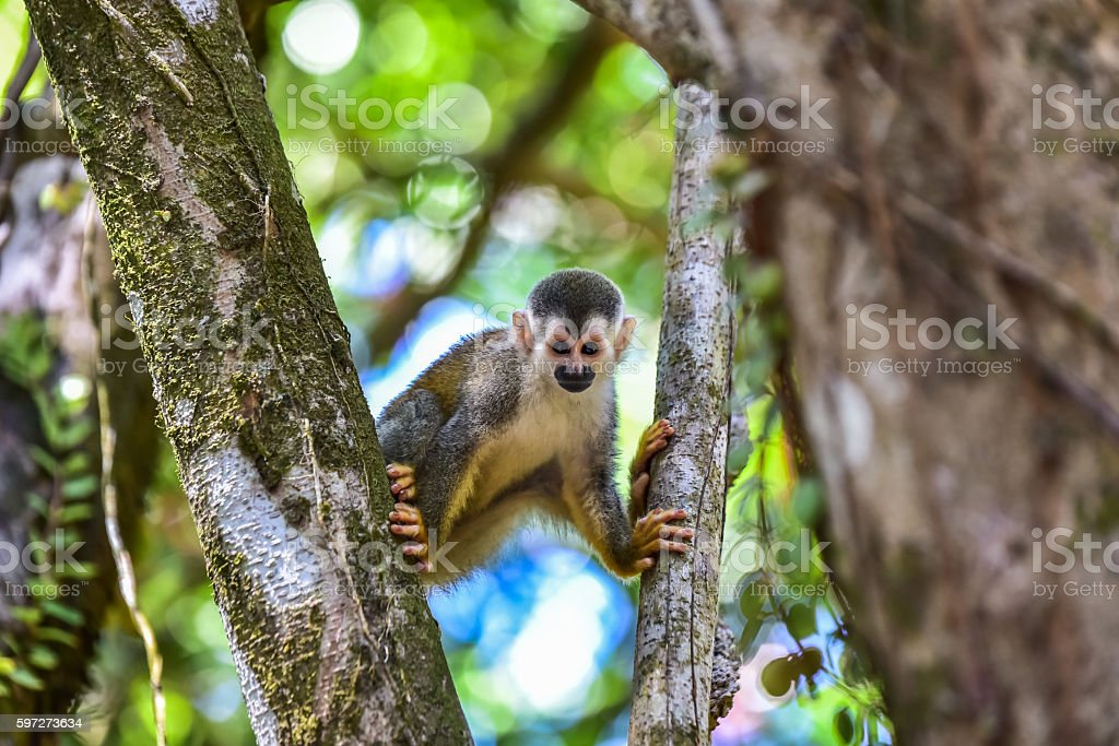 Squirrel Monkey on branch of tree - animals in wilderness photo libre de droits