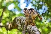 Squirrel Monkey on branch of tree in rainforest of Costa Rica - animals in wilderness