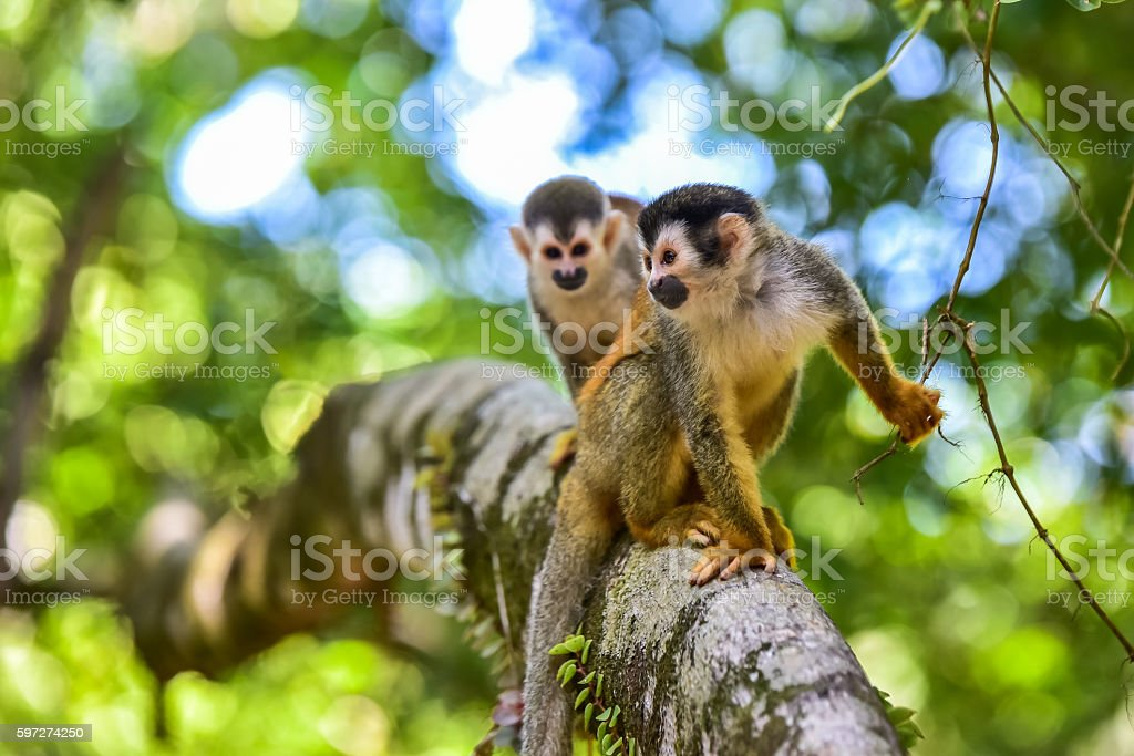 Squirrel Monkey on branch of tree - animals in wilderness - Photo