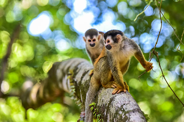 Squirrel Monkey on branch of tree - animals in wilderness Squirrel Monkey on branch of tree in rainforest of Costa Rica - animals in wilderness primate stock pictures, royalty-free photos & images