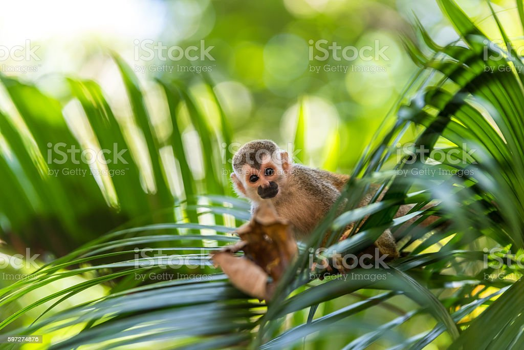 Squirrel Monkey on branch of tree - animals in wilderness royalty-free stock photo