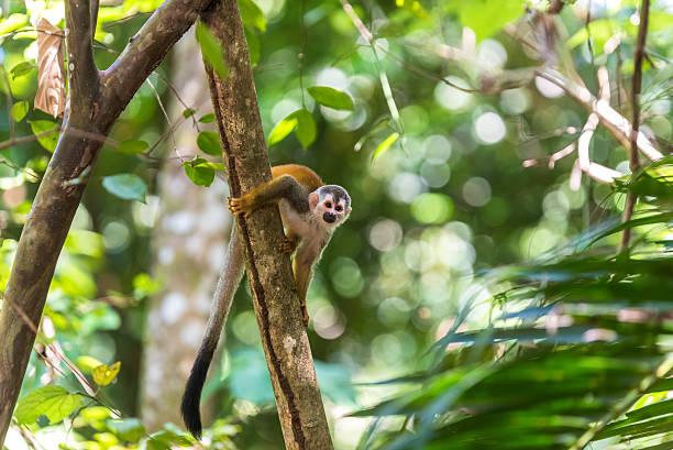 squirrel monkey on branch of tree - animals in wilderness - mini amusementpark stockfoto's en -beelden
