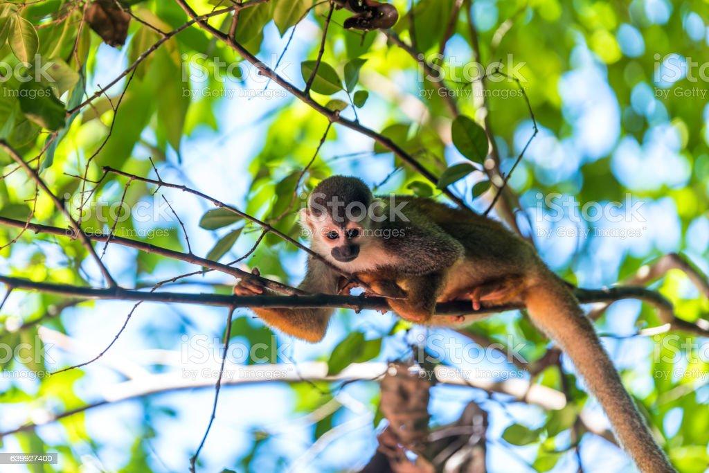 Squirrel Monkey on branch of tree - animals in wilderness stock photo