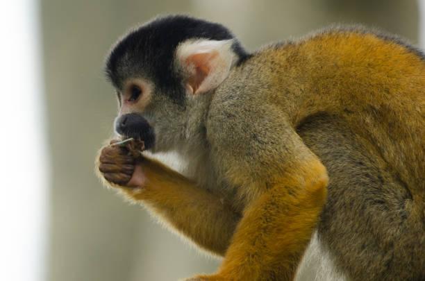 Squirrel Monkey stock photo