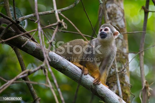 Squirrel Monkey Sitting in jungle canpoy, Amazon, Ecuador, 2018