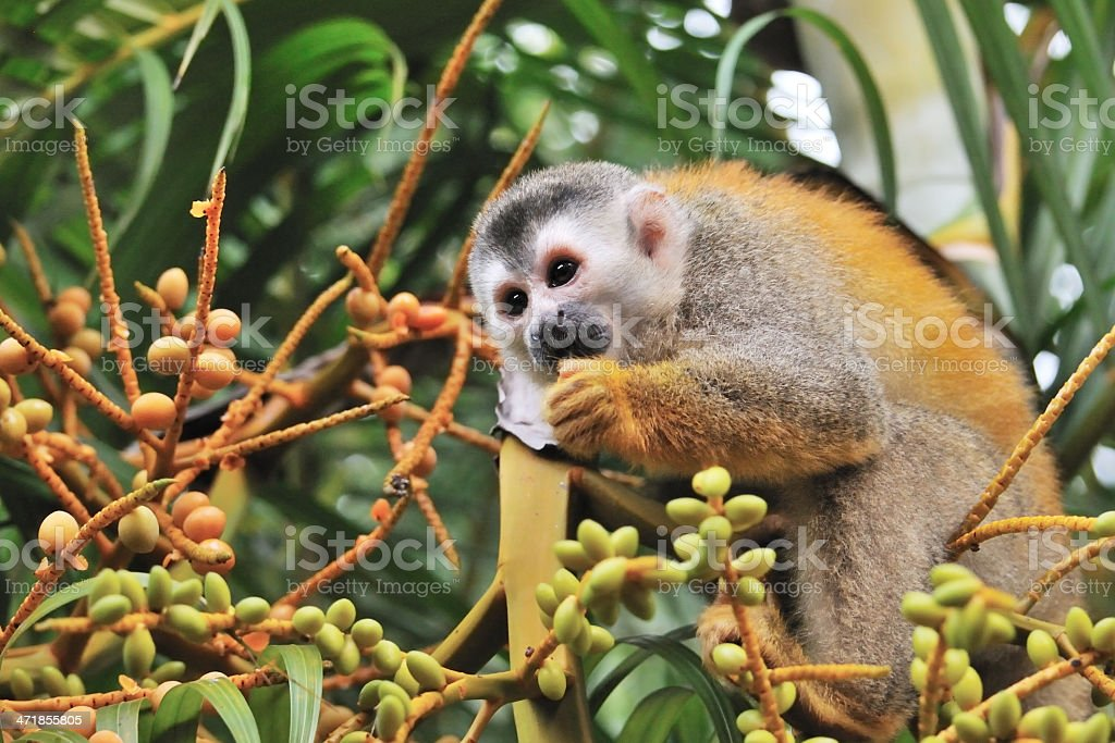 Macaco Esquilo - foto de acervo