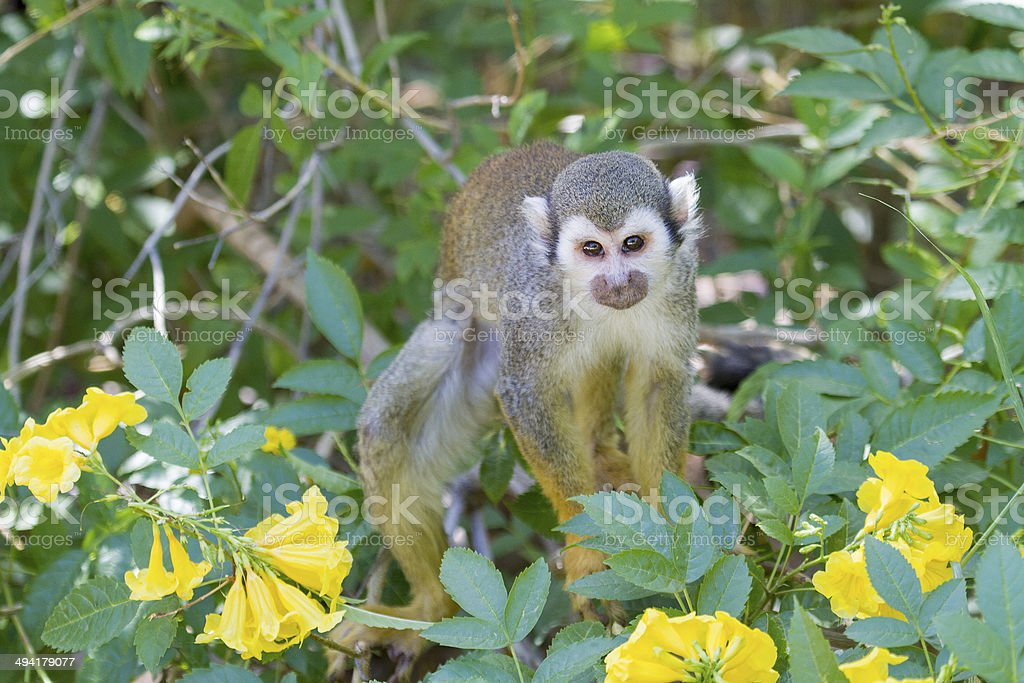 Squirrel Monkey royalty-free stock photo