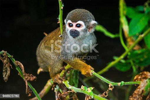 istock Squirrel Monkey 946923780
