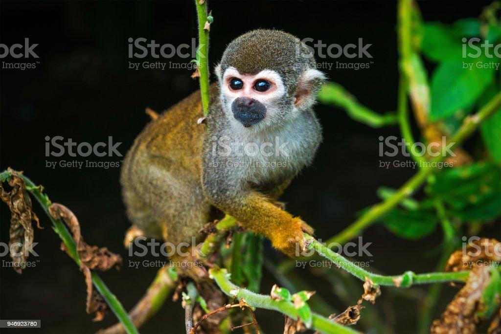 Mono ardilla común - foto de stock