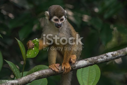 A squirrel monkey eating a insect in Cuyabeno wildlife reserve in Ecuador.