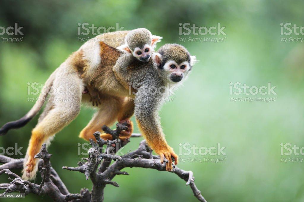 Squirrel monkeys stock photo