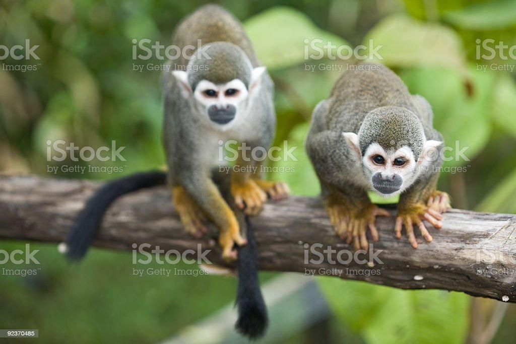 Squirrel Monkeys royalty-free stock photo