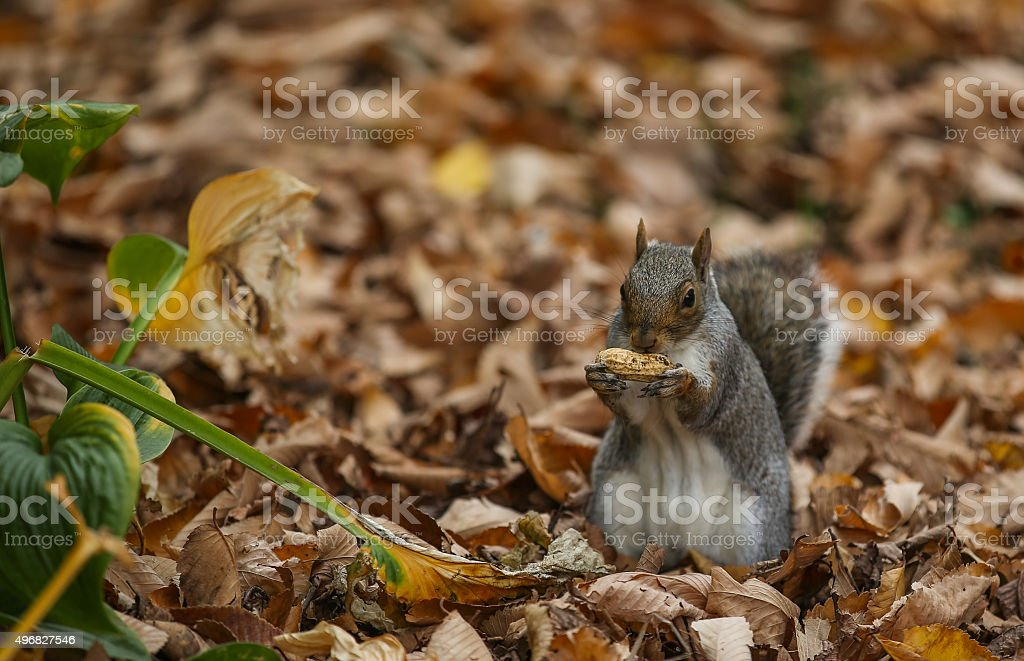 Squirrel - New York stock photo