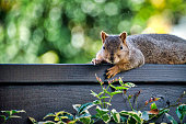 A squirrel on a fence posing for the camera.