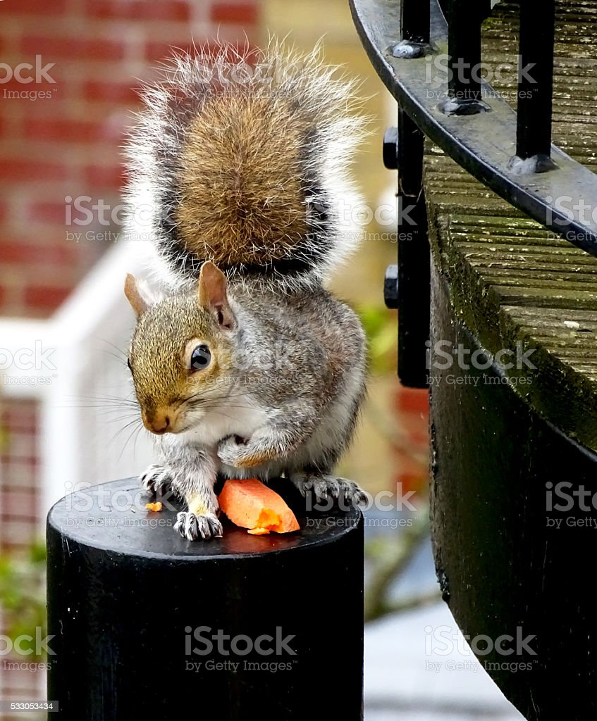Squirrel on a post eating a carrot stock photo