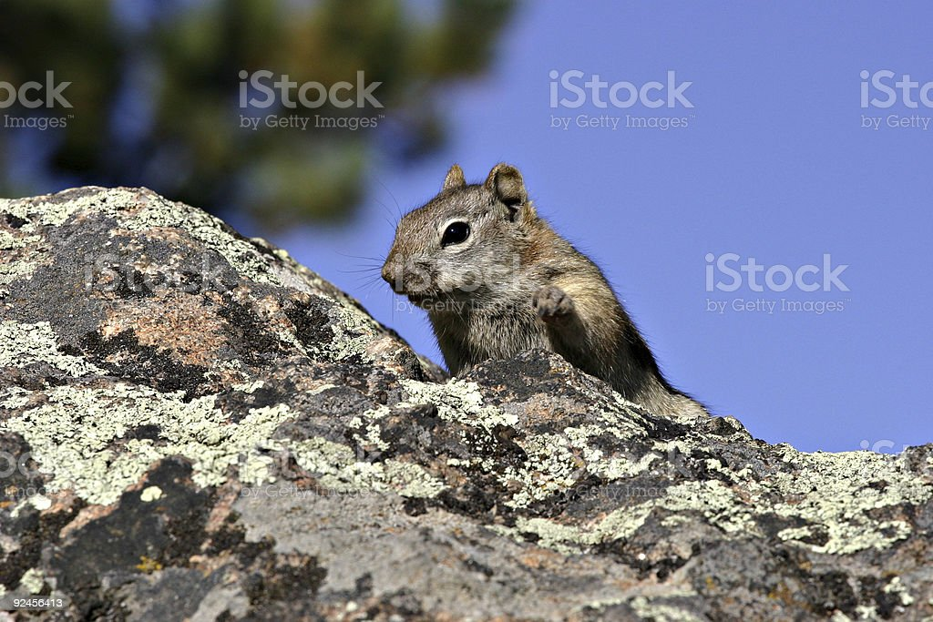Squirrel On A Rock - Paw Raised (Horizontal) stock photo