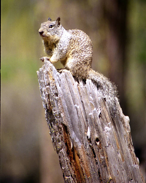 Squirrel on a Stump stock photo