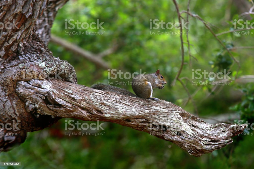 Squirrel on a trunk royalty-free stock photo
