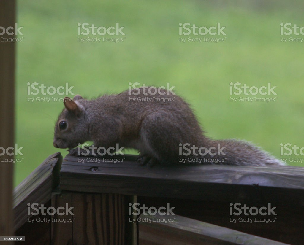 Squirrel on a wood rail - Royalty-free Alertness Stock Photo