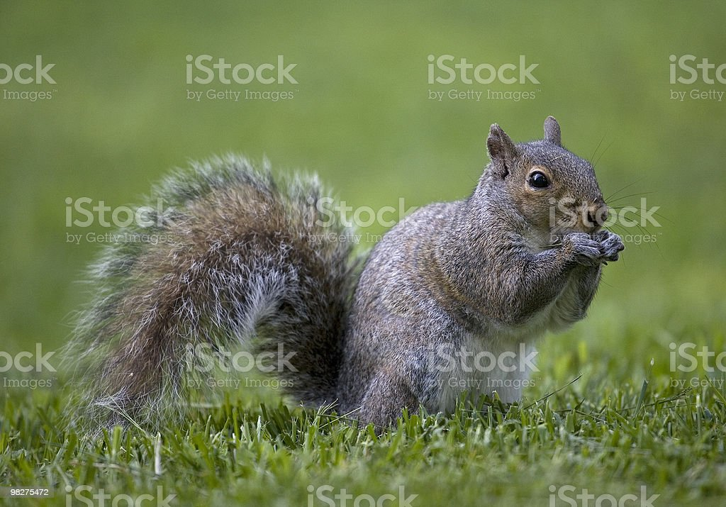 squirrel on grass royalty-free stock photo