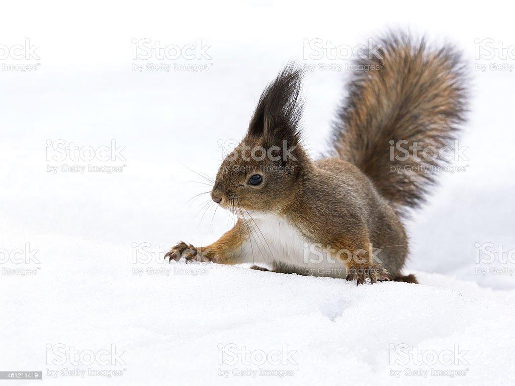 Squirrel on snow stock photo