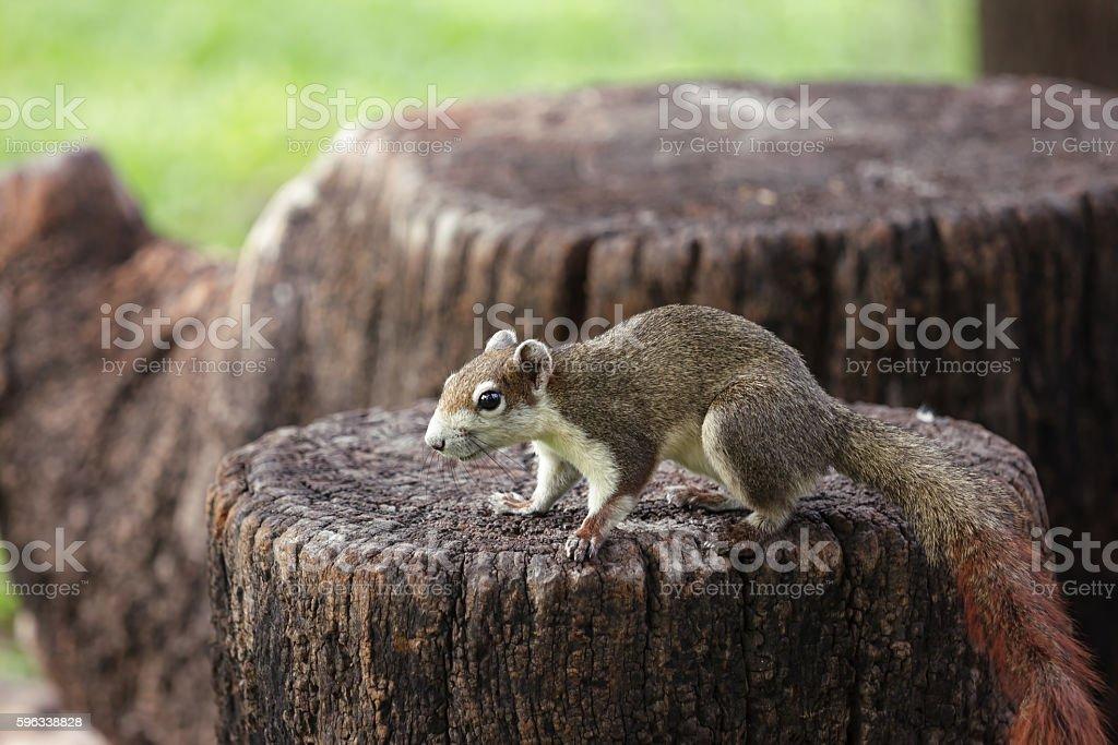 Squirrel on stump, background Lizenzfreies stock-foto