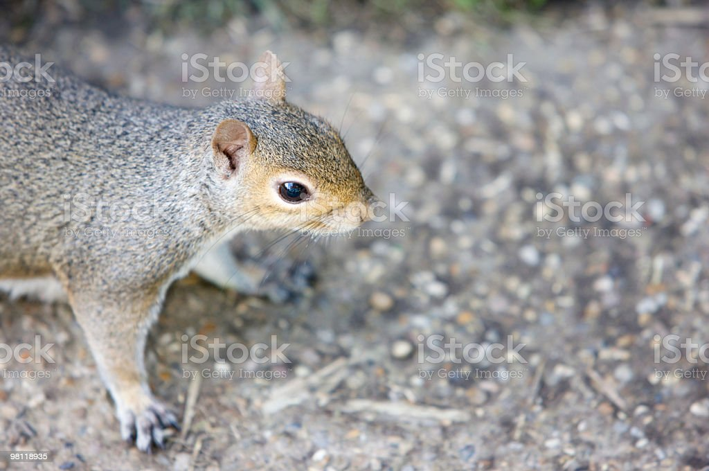 Squirrel on the path royalty-free stock photo