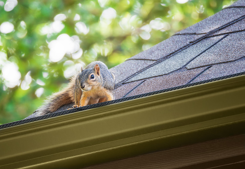 Squirrel peeking out on the roof edge. A tree in the background.
