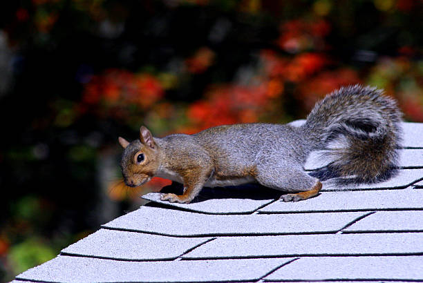 Squirrel on the Roof – Foto