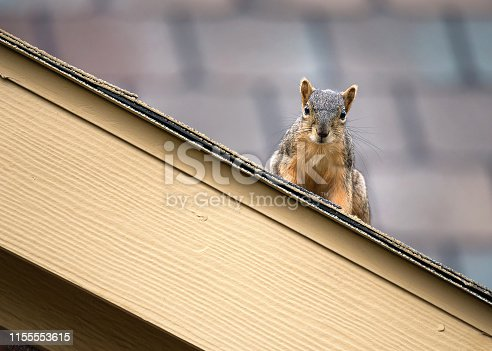 Squirrel peeking out from the edge of the roof top