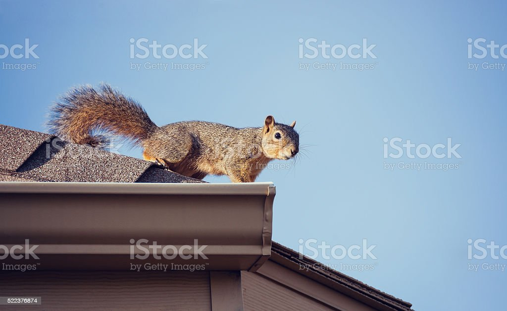 Squirrel on the roof top stock photo