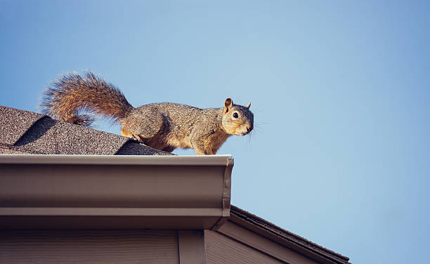 squirrel on the roof top - squirrel stock photos and pictures