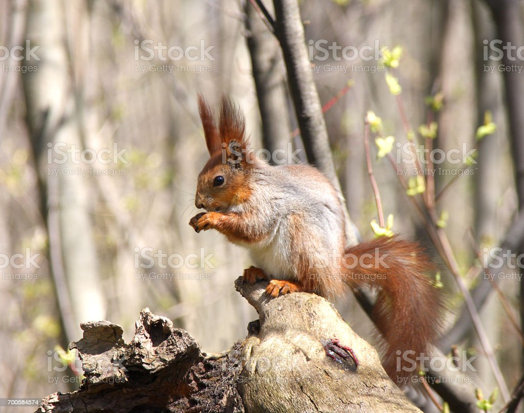 Squirrel on the snag stock photo