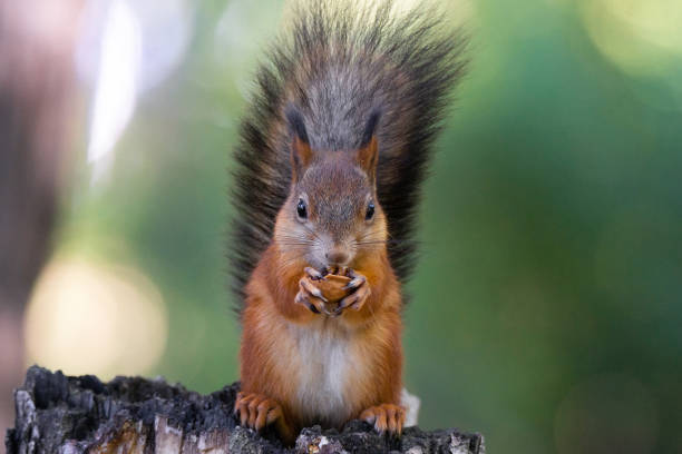 squirrel on the tree - squirrel stock photos and pictures