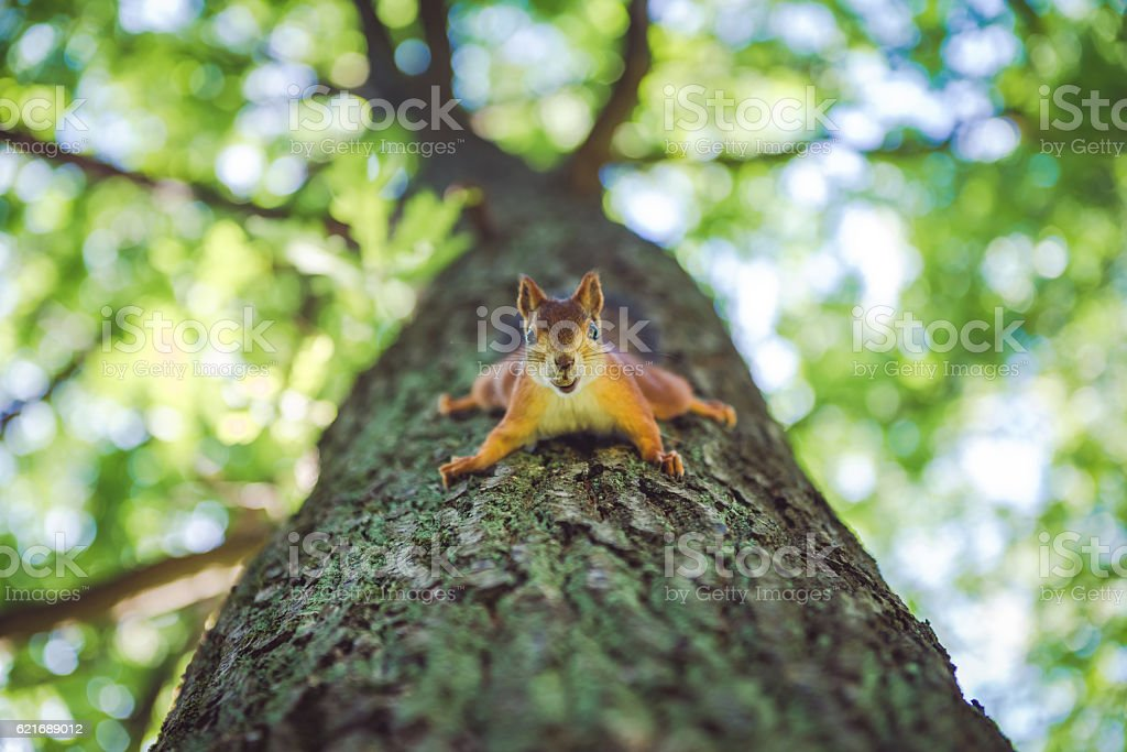Squirrel on tree with nut stock photo