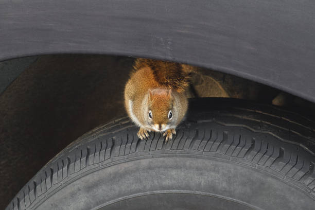 Squirrel on vehicle tire picture id1129686370?b=1&k=6&m=1129686370&s=612x612&w=0&h=iij0xamr5fgg wddlxk2ksafi rllhqcjc3hek coq4=