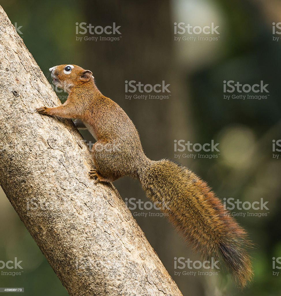 squirrel or small gong stock photo