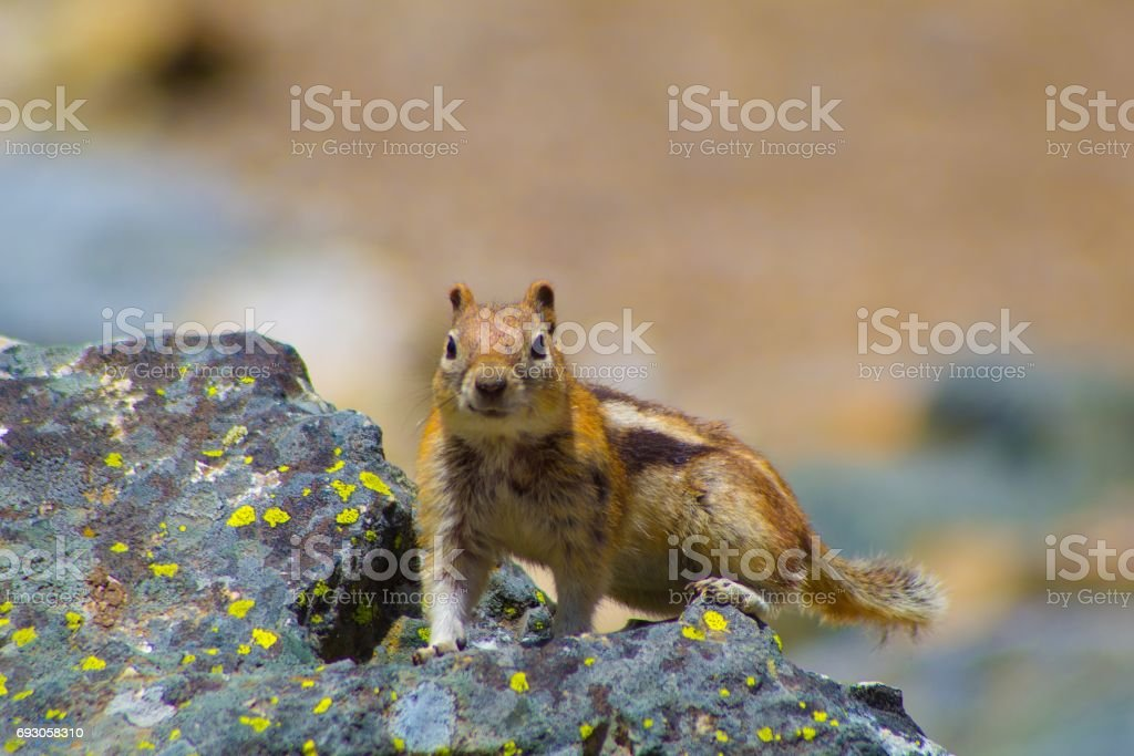 squirrel perched on rock stock photo