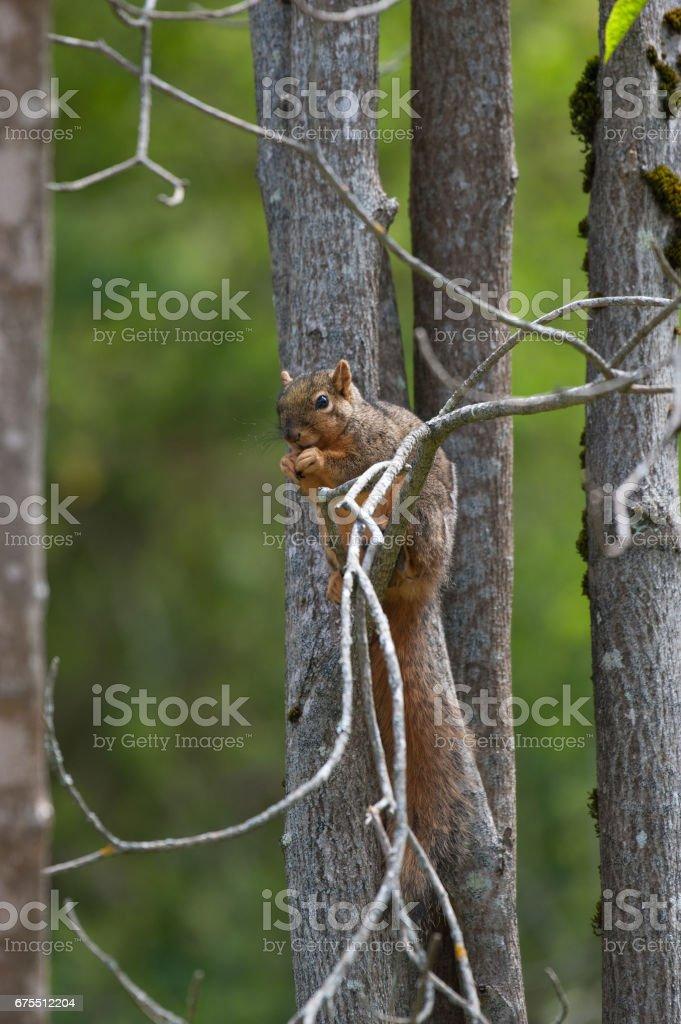 Écureuil perché sur l'arbre et manger photo libre de droits